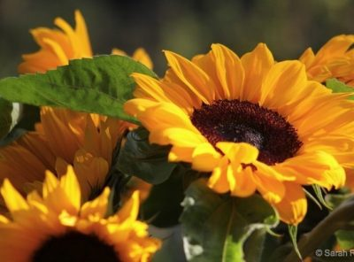 Sunshine and Sunflowers , The Colour and Wonder