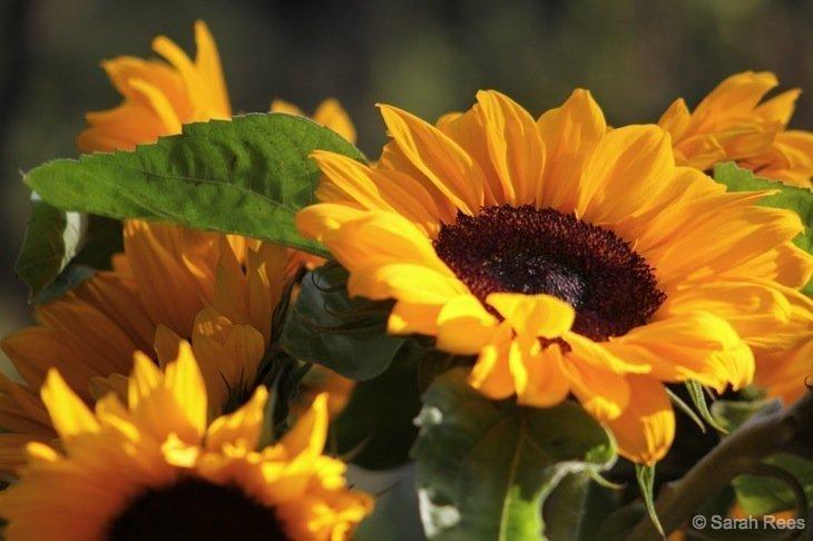 sunsgine and sunflowers