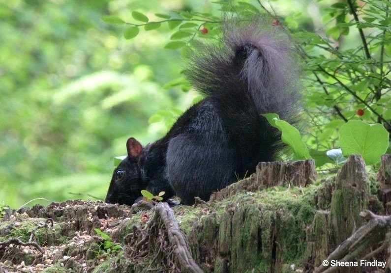 Up-close-and-personal Black Squirrels and Birds of Stanley Park, Vancouver