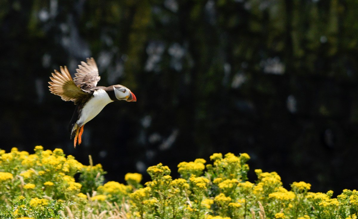 Wales-Nature-17 Puffins and The Pembrokeshire Coast