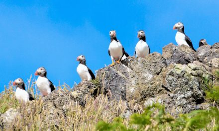 Puffins and The Pembrokeshire Coast