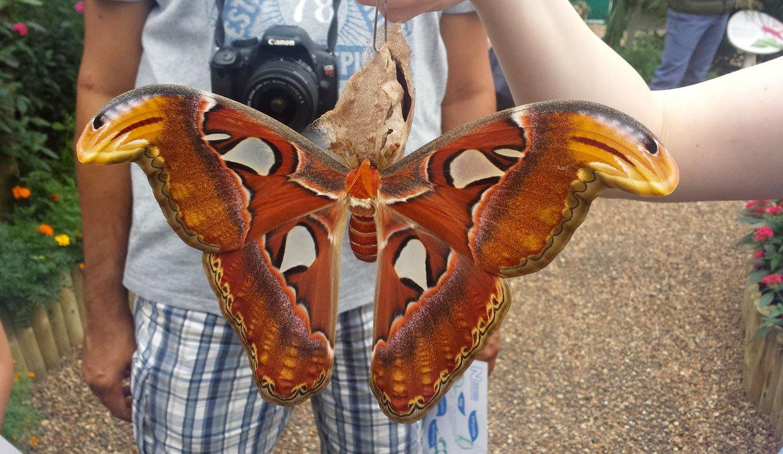 huge atlas moth
