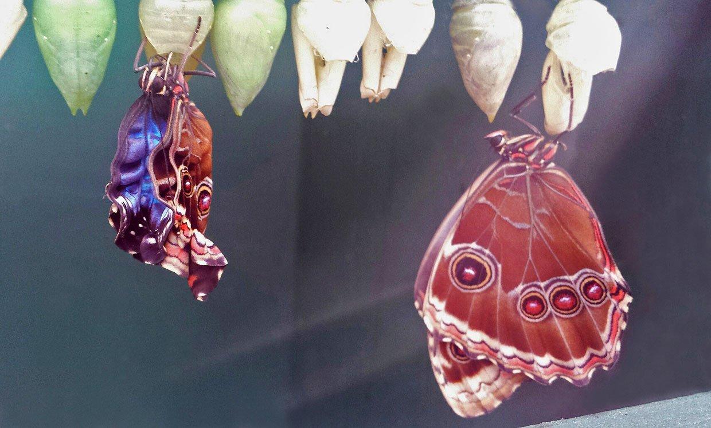 Snake's head moth