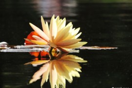 Water Lily 1- flowers