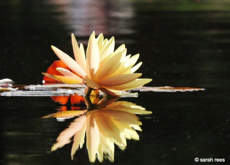 The Water Lilies of Wisley