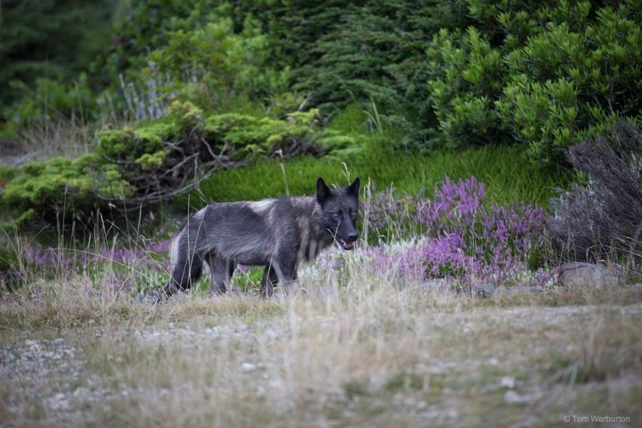 The Wolf: A Brief Encounter, Vancouver Island