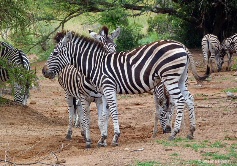 Zebra-at-Pilanesberg-National-Park-Fav.s0004-south-africa South Africa – Pilanesberg Game Reserve and National Park