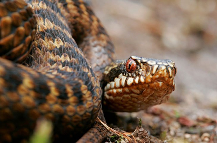 adder Dangerous Beasts in Britain? Not Exactly