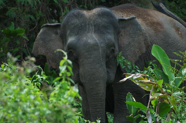 Asian Elephant Borneo