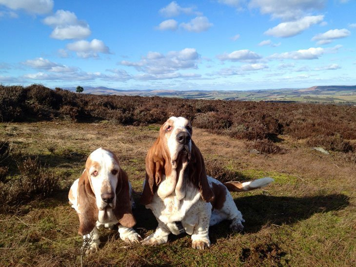 2 Bassets and the Boss