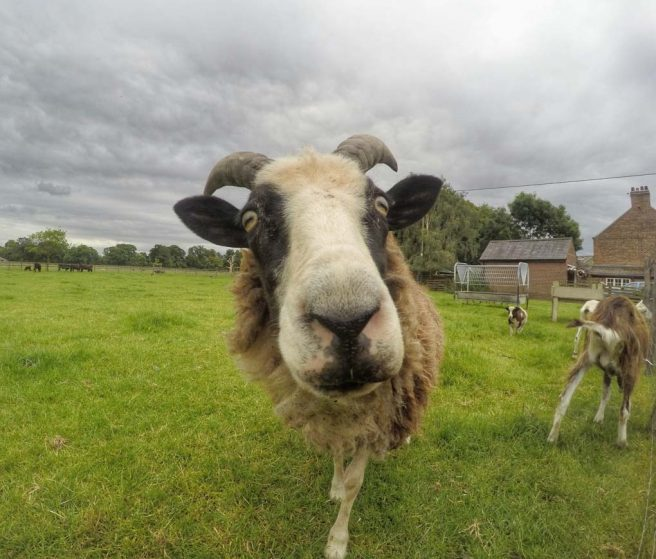 goat at beningbrough