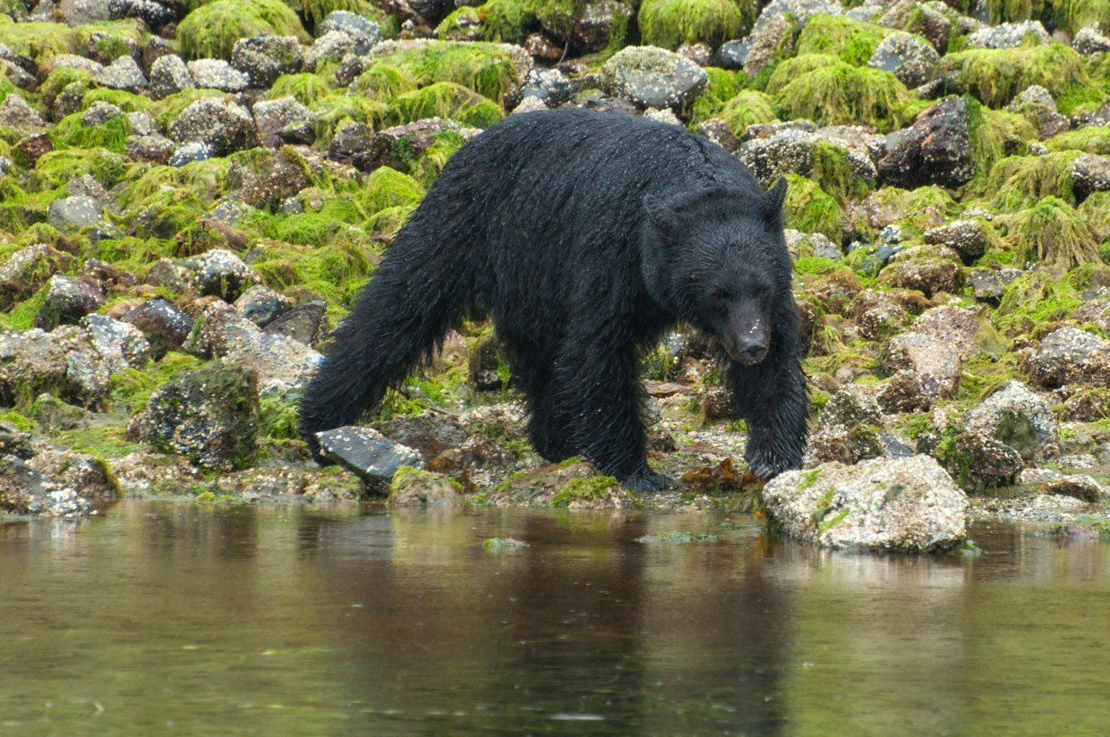 Canada Bear Watching In Tofino