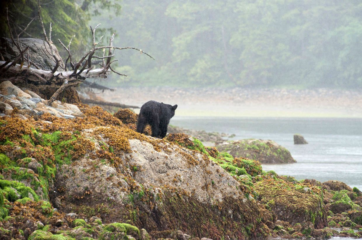 Bear watching in Tofino