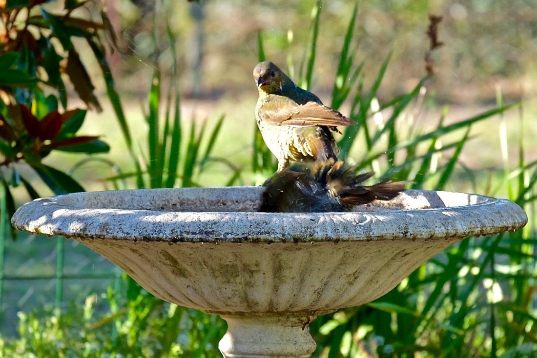 blue-satin-bowerbird-2 Secrets of the Blue Satin Bowerbird
