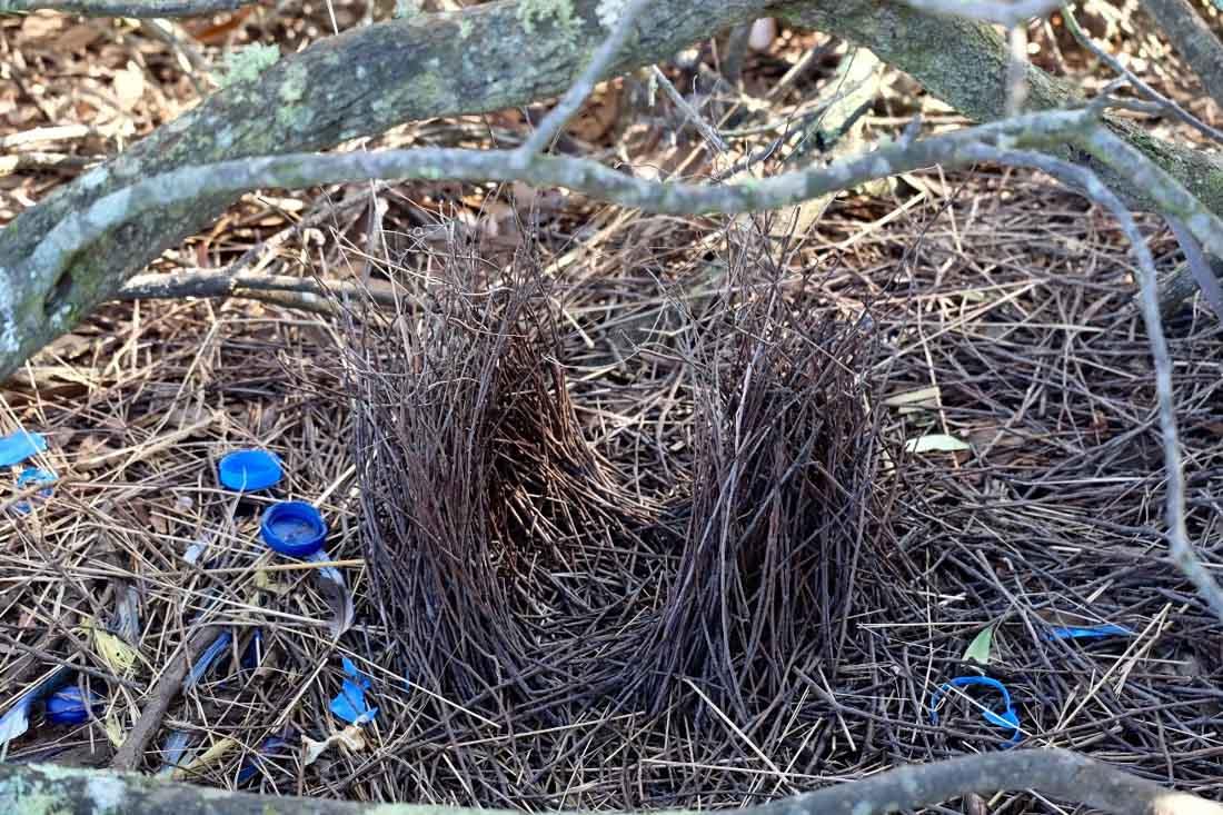 blue-satin-bowerbird-3 Secrets of the Blue Satin Bowerbird