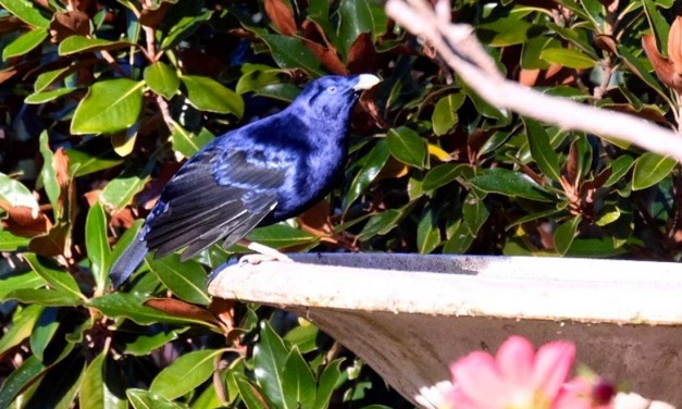 Secrets of the Blue Satin Bowerbird