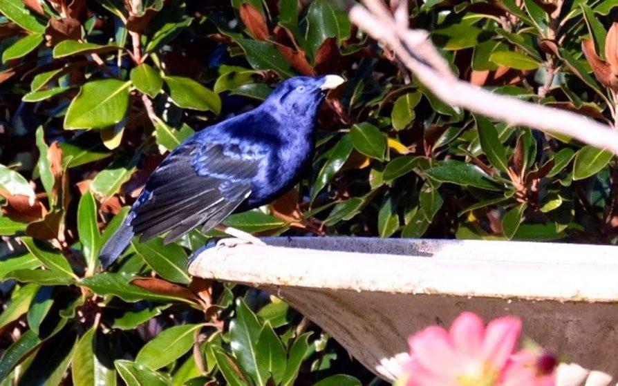 Secrets of the Blue Satin Bowerbird