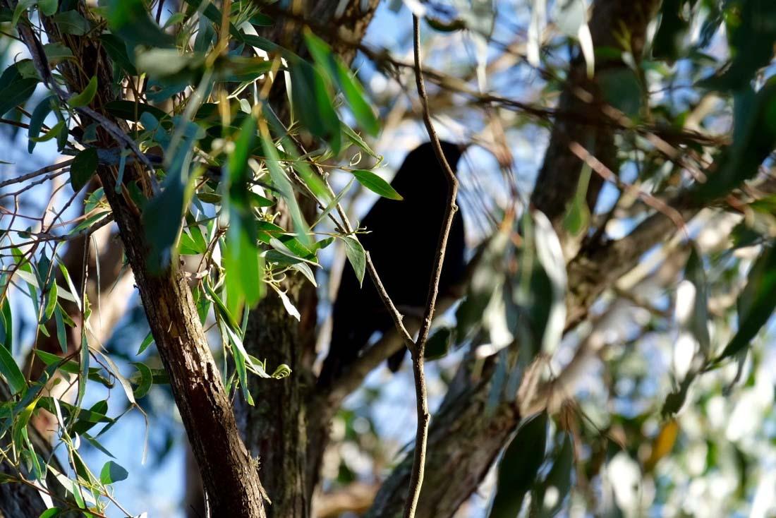 blue-satin-bowerbird-6 Secrets of the Blue Satin Bowerbird