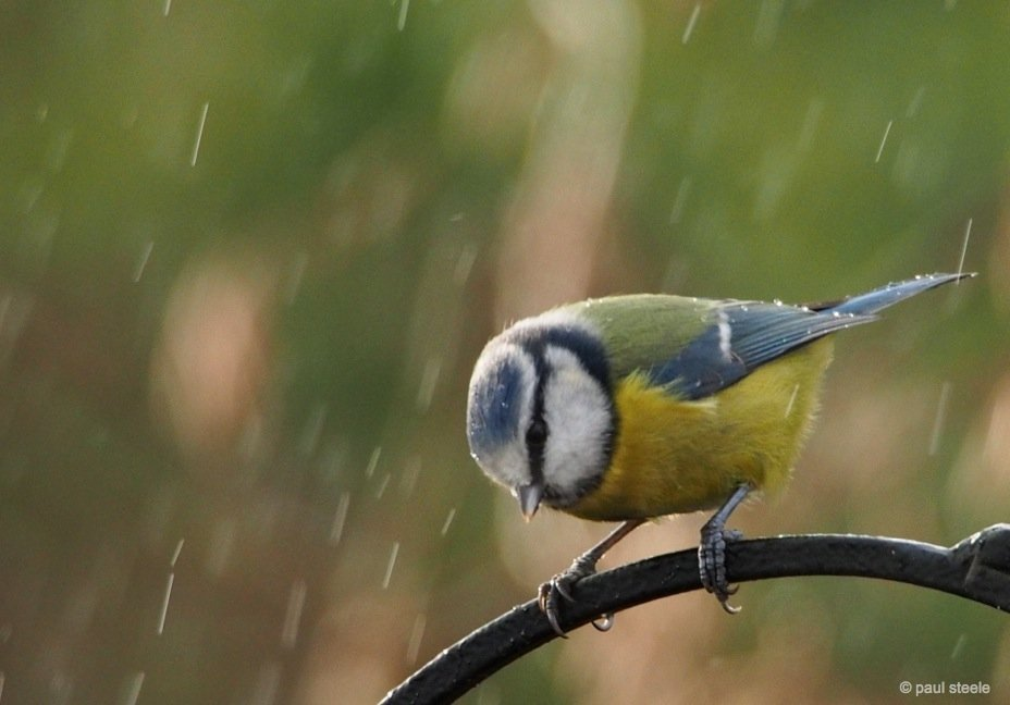 Blue Tit in the sleet