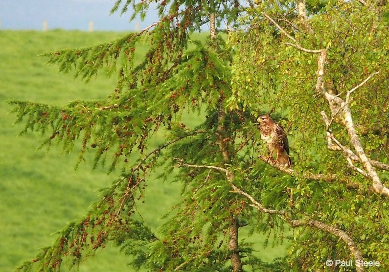 Buzzard on the look out