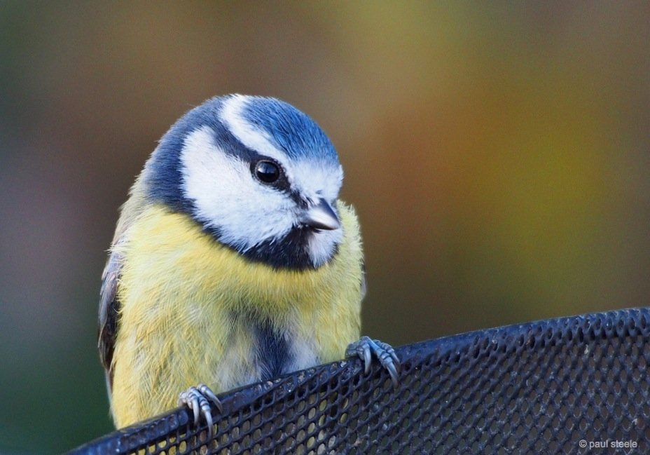The cheeky Blue Tit
