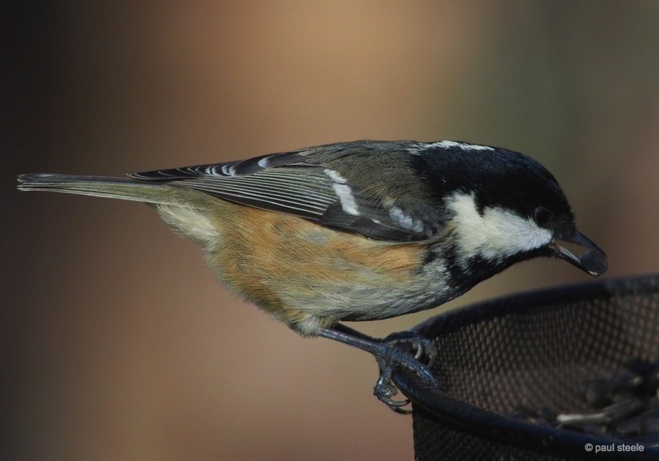 The busy Coal Tit
