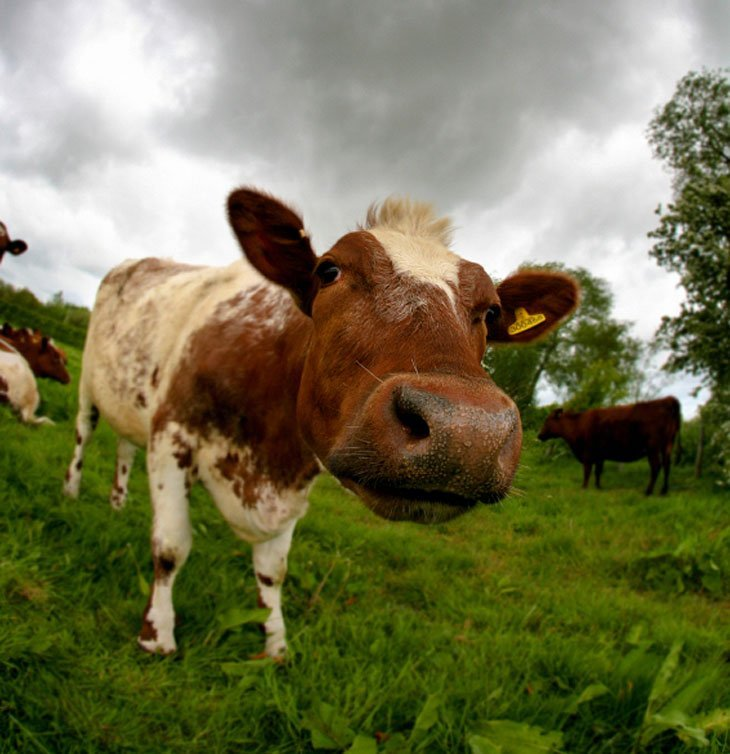 cow Dangerous Beasts in Britain? Not Exactly
