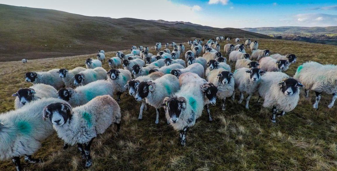 Dentdale sheep
