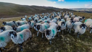 Dentdale sheep