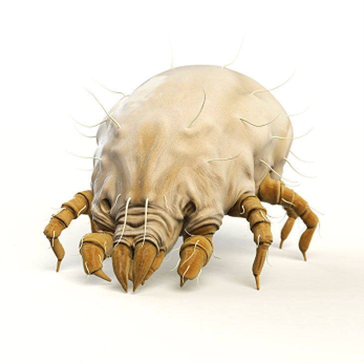 close up of a dust mite