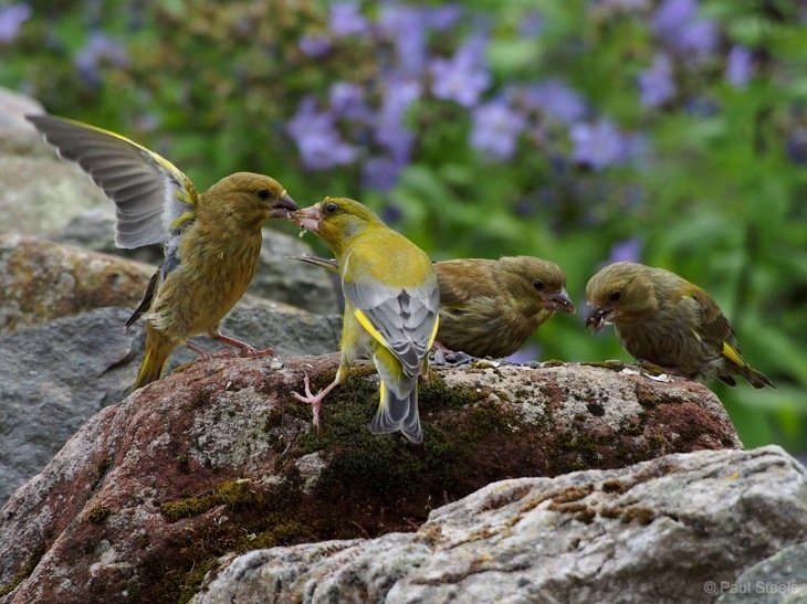 A Greenfinch family outing in the garden