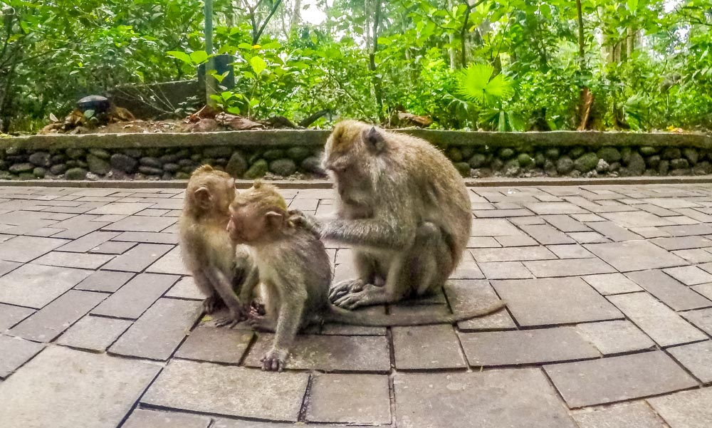 monkeys in the monkey forest