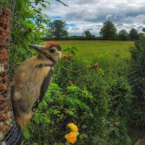 woodpecker close up