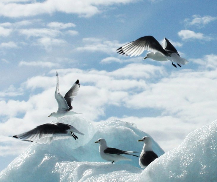 glaucous gulls Cutting Through The Arctic   Snapping The Spectacle