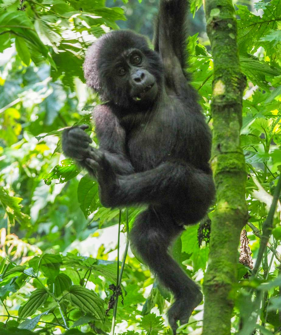 Gorilla Tracking Uganda - The Habinyanja Family