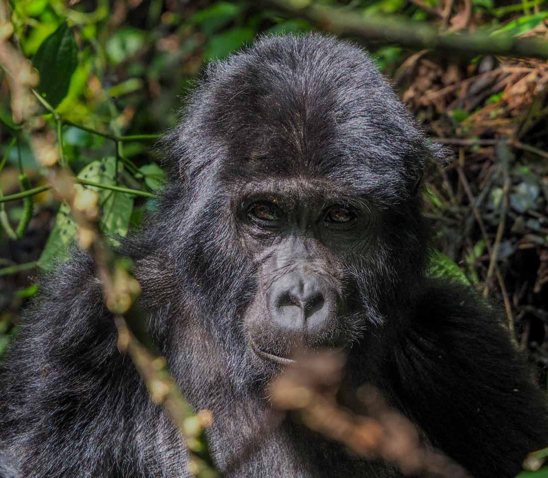 gorillas-uganda-track-2-11 Gorilla Tracking Uganda - The Habinyanja Family