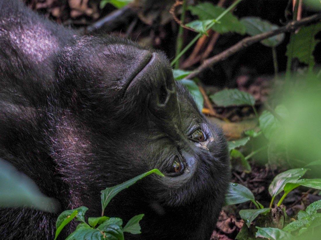 gorillas-uganda-track-2-13 Gorilla Tracking Uganda - The Habinyanja Family