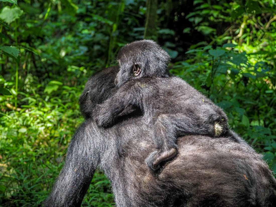 gorillas-uganda-track-2-14 Gorilla Tracking Uganda - The Habinyanja Family