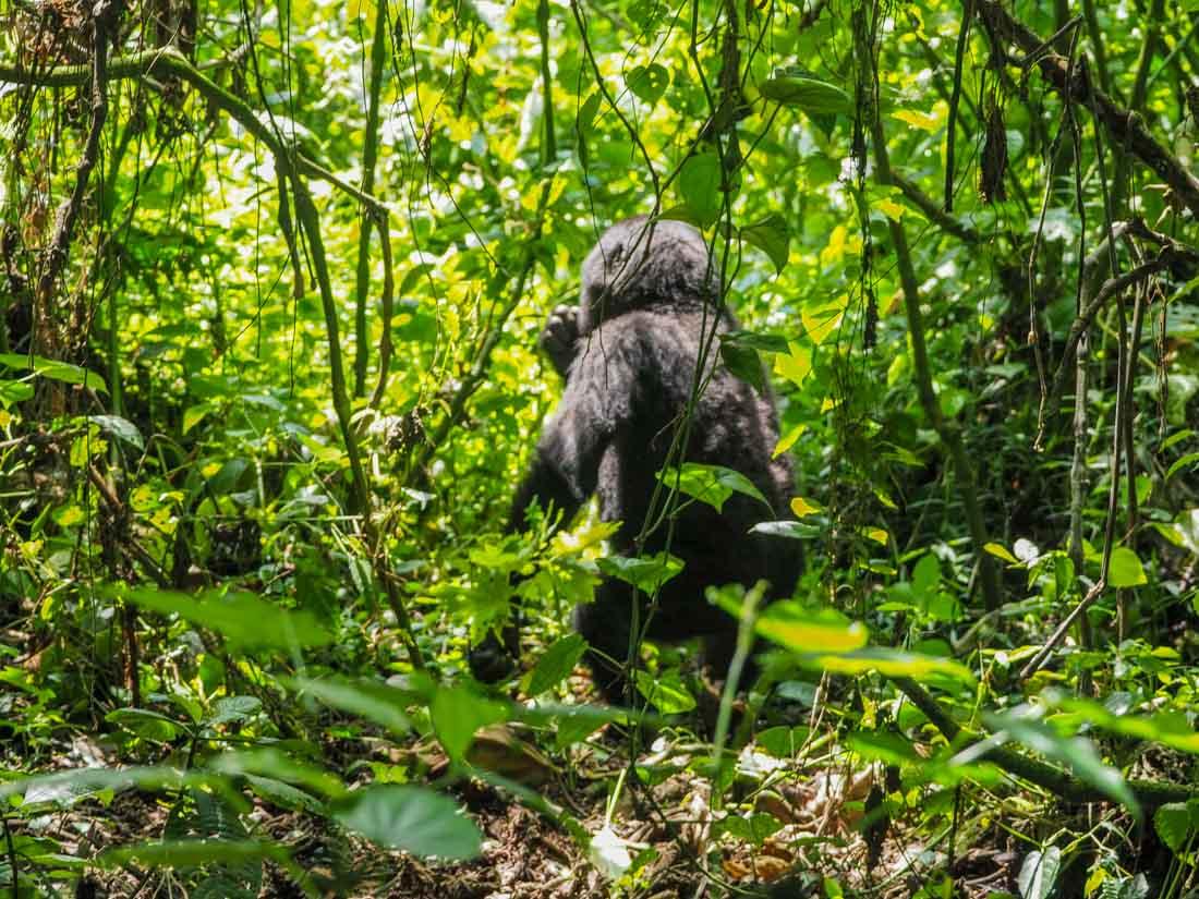 gorillas-uganda-track-2-15 Gorilla Tracking Uganda - The Habinyanja Family