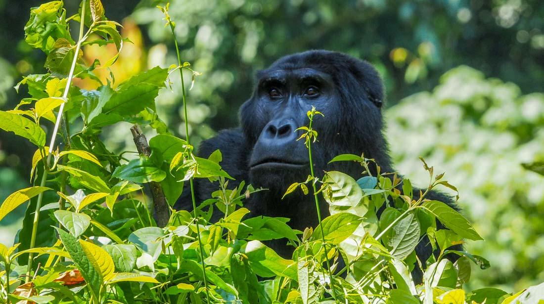 gorillas-uganda-track-2-16 Gorilla Tracking Uganda - The Habinyanja Family
