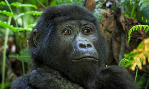 Gorilla Tracking Uganda – The Habinyanja Family
