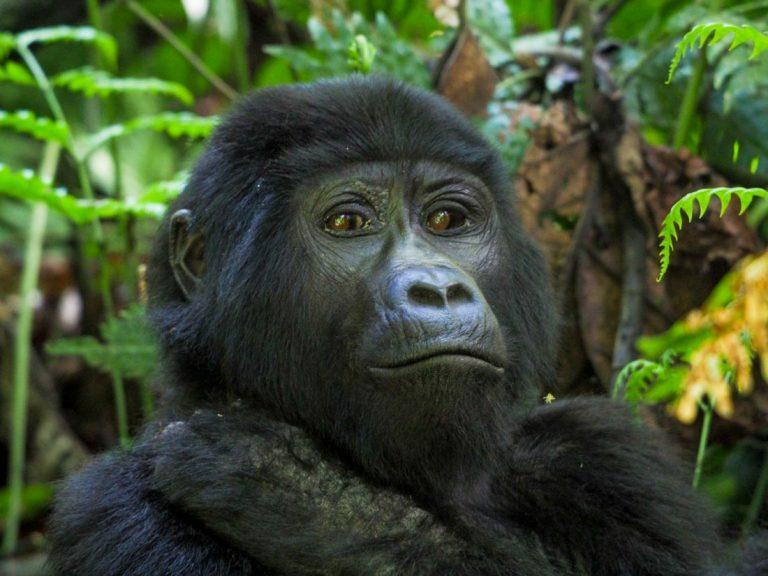 Gorilla Tracking Uganda – The Habinyanja Family