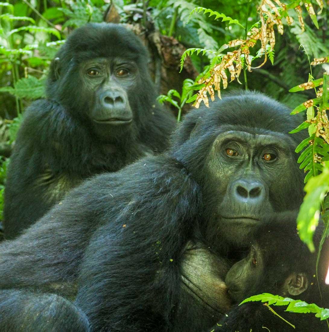 gorillas-uganda-track-2-3 Gorilla Tracking Uganda - The Habinyanja Family