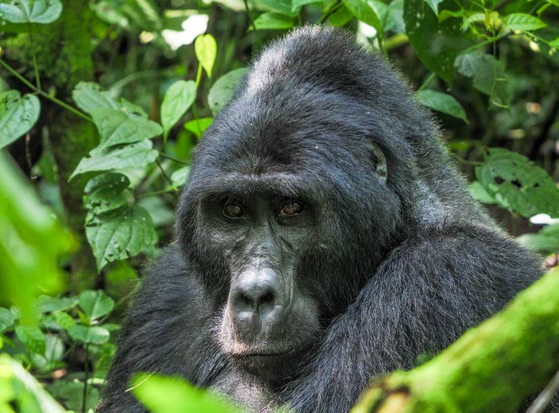 gorillas-uganda-track-2-5 Gorilla Tracking Uganda - The Habinyanja Family