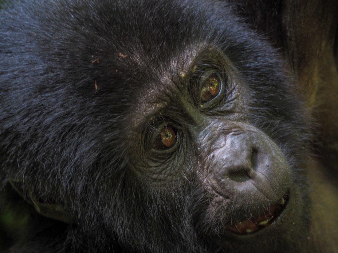 gorillas-uganda-track-2-6 Gorilla Tracking Uganda - The Habinyanja Family