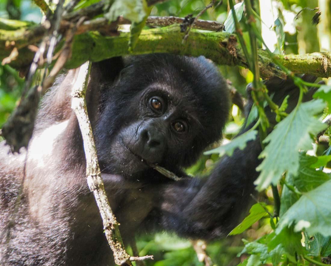 gorillas-uganda-track-2-7 Gorilla Tracking Uganda - The Habinyanja Family