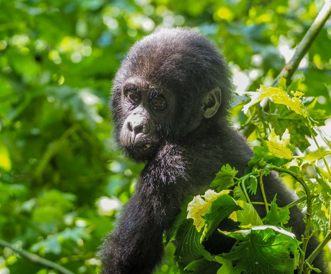 gorillas-uganda-track-2-8 Gorilla Tracking Uganda - The Habinyanja Family