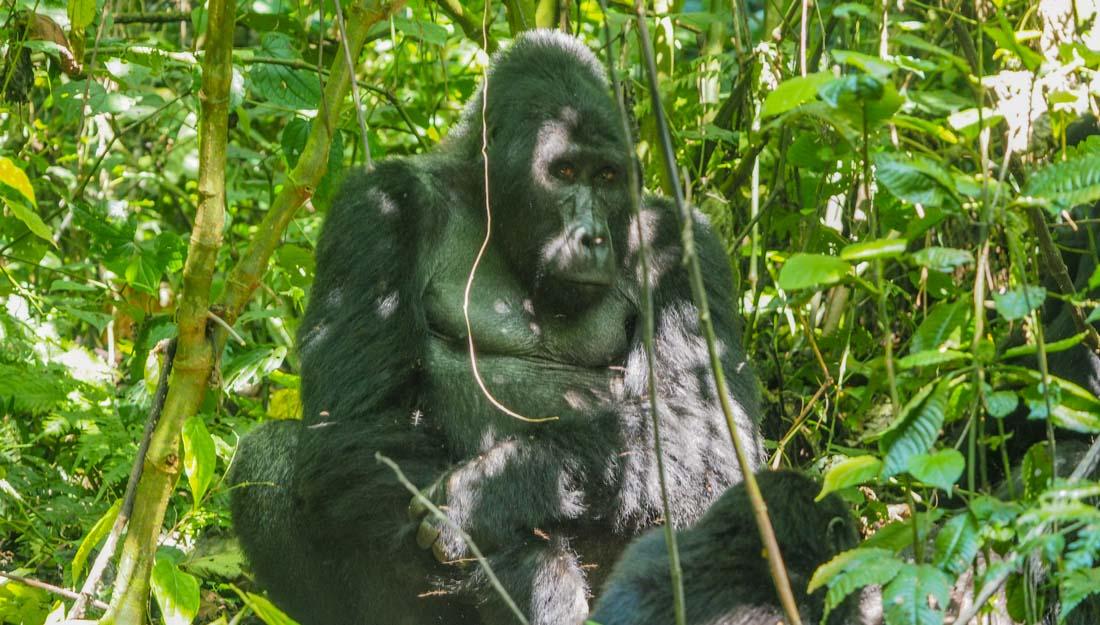 gorillas-uganda-track-2 Gorilla Tracking Uganda - The Habinyanja Family