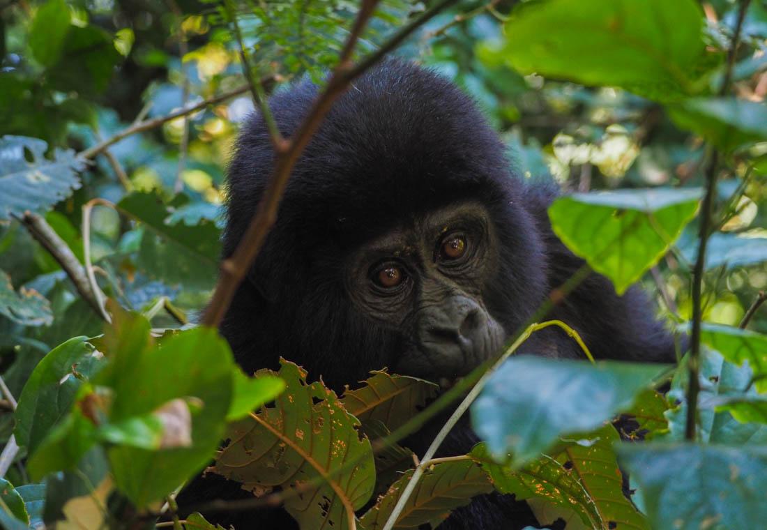 Gorilla Tracking Uganda - The Mubare Family