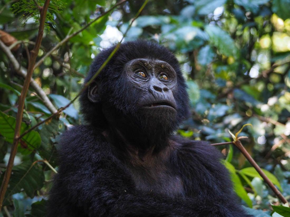 gorillas-uganda-trek-1-12 Gorilla Tracking Uganda - The Mubare Family